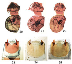 ' Figures 20–25.' Elasmiafemale genitalia and male eighth sternites. 20 Elasmia packardii female genitalia slide E.H.M. 347 21 Elasmia cave female genitalia paratype slide E.H.M. 409 22 Elasmia mandela santaana female genitalia paratype slide E.H.M. 410 23 Eighth sternite of male of Elasmia packardii slide E.H.M. 343 24 Eighth sternite of male of Elasmia cave paratype slide E.H.M. 355 25 Eighth sternite of male of Elasmia mandela santaana paratype slide E.H.M. 359.
