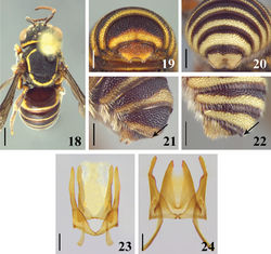 Figures 18–24. 18 dorsal view of male of Michanthidium almeidai sp. n. 19–20 dorsal view of apex of metasoma of male 19 Michanthidium albitarse 20 Michanthidium almeidai sp. n. 21–22 apex of T6 of male 21 Michanthidium albitarse 22 Michanthidium almeidai sp. n. 23–24 male genitalia in dorsal view 23 Michanthidium almeidai sp. n. 24 Michanthidium albitarse. Scale line= 1.0 mm (Figure 18). Scale line = 0.25 mm (Figures 19–20; 23–24). Scale line = 0.5 mm (Figures 21–22).