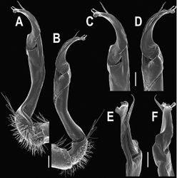 Figure 60. Orthomorpha murphyi Hoffman, 1973, ♂. A, B right gonopod, mesal and lateral views, respectively C-F distal part of right gonopod, mesal, lateral, subcaudal and suboral views, respectively. Scale bar: 0.2 mm.