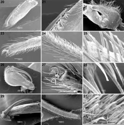 Figures 20–31. Scanning electron micrographs of Calommata meridionalis sp. n. 20–25 Calommata simoni Pocock 26–28 and Calommata tibialis sp. n. 29–31 males 20, 29 chelicera in ventral view 21 tip of fang 22 right endite, ventral view 23, 27 tarsus and claw, leg I (note pseudosegmentation of tarsus) 24, 30 tarsus IV, lateral and ventral view (note pseudosegmentation of tarsus) 25, 28, 31 detail of ventral scopulate setae on tarsus IV 26 chelicera in prolateral view.
