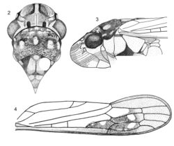 Figures 2–4. Egidemia impudica sp. n. 2 crown, pronotum and mesonotum, dorsal view (the white circle on the mesonotum is the pin perforation) 3 anterior portion of body, lateral view 4 left forewing.