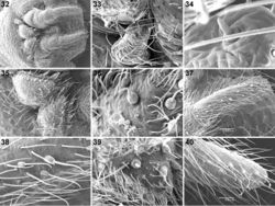 Figures 32–40. Scanning electron micrographs of Calommata simoni Pocock 32–38 and Calommata meridionalis sp. n. 39, 40 male spinnerets 32 spinneret field, ventral view 33 ALS 34 detail of single ALS spigot 35 PMS 36, 39 detail of PMS spigots 37, 40 PLS 38 detail of PLS spigots.