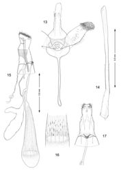 Figures 13–17. Genitalia, Macrosaccus robiniella. 13–14 Male. 13 Genital capsule, ventral view 14 Aedeagus. 15–17 Female. 15 Lateral view 16 Detail of signa within corpus bursae 17 Segments 7–10, ventral view.