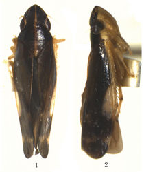 Figures 1–2. Taperus daozhenensis sp. n. 1–2 Male, dorsal view and lateral view.