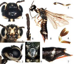 Figures 1–9 Heteroxiphia sinica sp. n., holotype 1 Head, dorsal view 2 Head, front view 3 Head, lateral view 4 Labial palp 5 Maxillary palp 6 1st–5th antennomeres 7 Apex of abdomen, lateral view 8 Adult female, lateral view 9 Mesoscutellum