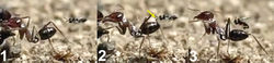 Figure 17. Horizontal alighting. 1 female of Kollasmosoma sentum sp. n. approaches an ant with the metasoma in horizontal position 2 extends the fore legs (yellow arrow) and grasps the metasoma with the tarsi 3 jumps over the metasoma placing the rest of its legs on it, and folds its wings.