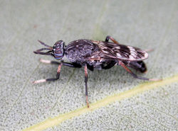 Figure 2. Acupalpa yanchep sp. n., female, Yanchep, Western Australia. Body length= 9.0 mm. (Photo: S.L. Winterton).