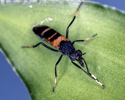 Figure 1. Acupalpa divisa (Walker), female, Brisbane, Queensland. Body length= 7.0 mm. (Photo: Anthony O'Toole, University of Queensland).