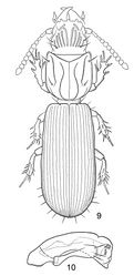 Figures 9–10. 9 Line drawing, showing habitus of Halocoryza maindroni Alluaud, 1919[1], dorsal aspect, ABL = 2.4mm; Black River, Mauritius; modified from Vinson (1956)[2]. N. B. discal setae of elytra not shown 10 Line drawing, showing male genitalia, median lobe and left paramere, Halocoryza maindroni Alluaud 1919, left lateral aspect, ca. 0.40mm; Black River, Mauritius; modified from Vinson (1956)[2].