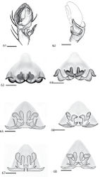Figures 61–68. Copulatory organs of Selenops nesophilus Chamberlin holotype male from Isla Tortuga, Baja California Sur, México (CAS) 61–62 female from Isla Tortuga, Baja California Sur, México (CAS) 63–64 Selenops debilis group showing some of the internal variation found in various specimens. Female from Portal, Cochise Co., Arizona (AMNH) 65 females from Guadelupe Canyon, Cochise Co., Arizona (AMNH) 66–67 female from 1 mile west of Lajitas, Brewster Co., Texas (AMNH) 68, 61 left pedipalp, ventral view 62 left pedipalp, retrolateral view 63 epigyne, ventral view 64–67 spermathecae, dorsal view. Scale bar = 0.50 mm.