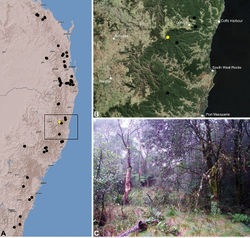 Figure 39. Austrarchaea platnickorum sp. n., distribution and habitat: A, topographic map showing the known distribution of Archaeidae in south-eastern Queensland and eastern New South Wales, with collection localities for A. platnickorum highlighted in yellow; B, satellite image showing detail of inset (A); C, snow gum woodland adjacent to cool-temperate Nothofagus moorei rainforest at the type locality – Banksia Point, New England National Park, New South Wales (April 2010). Image (C) by M. Rix.