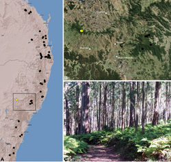Figure 42. Austrarchaea mascordi sp. n., distribution and habitat: A, topographic map showing the known distribution of Archaeidae in south-eastern Queensland and eastern New South Wales, with collection localities for A. mascordi highlighted in yellow; B, satellite image showing detail of inset (A); C, open eucalypt forest near the type locality – Breeza Lookout, Coolah Tops National Park, New South Wales (April 2010). Image (C) by M. Rix.