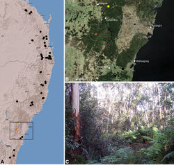 Figure 43. Austrarchaea smithae sp. n., distribution and habitat: A, topographic map showing the known distribution of Archaeidae in south-eastern Queensland and eastern New South Wales, with collection localities for A. smithae highlighted in yellow (orange localities denote genotyped juvenile specimens of tentative identification); B, satellite image showing detail of inset (A); C, wet eucalypt forest at the type locality – Mount Wilson, Blue Mountains National Park, New South Wales (April 2010). Image (C) by M. Rix.