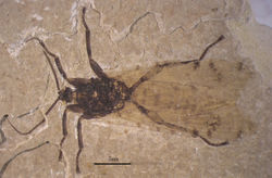 Figure 1. Photo image of Jeholopsyche liaoningensis, gen. et sp. n. Holotype, specimen CNU-M-LB-2005-002-1, part.