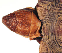 Figure 13. Detail of head scales of the holotype of Gopherus morafkai, CAS 33867.
