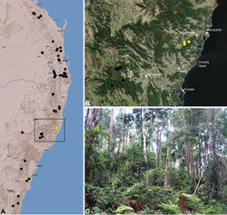 Figure 40. Austrarchaea binfordae sp. n., distribution and habitat: A, topographic map showing the known distribution of Archaeidae in south-eastern Queensland and eastern New South Wales, with collection localities for A. binfordae highlighted in yellow (orange localities denote genotyped juvenile specimens of tentative identification); B, satellite image showing detail of inset (A); C, lowland subtropical rainforest at the type locality – McLeods Creek Road, Kerewong State Forest, New South Wales (April 2010). Image (C) by M. Rix.