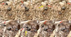 Figure 7. Two sequences of failed attacks by Elasmosoma luxemburgense. 1 the wasp (red arrow) approaches the ant 2 the wasp hits the metasoma 3 the right hind leg of the ant (yellow arrow) strikes the wasp and 4 throws it off 5 the wasp approaches the ant 6 when alighting, the right hind leg of the wasp (yellow arrow) remains over the hind leg of the ant, impeding the grasp of the ant's metasoma 7 and 8 the wasp flies away.