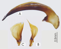 Figure 31. Male aedeagus of Abacophrastus megalops A right lateral view B right paramere C left paramere.