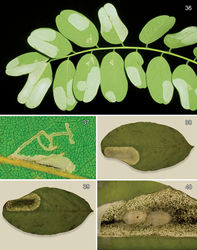 Figures 36–40. Leafmines of Macrosaccus robiniella on Robinia pseudoacacia. 36 Abaxial blotch mines, with kind permission of György Csóka 37 Early instar, abaxial serpentine mines, with kind permission of György Csóka 38 Abaxial blotch mine 39 Adaxial view of Fig. 38 40 Opened mine with 2 cocoons.