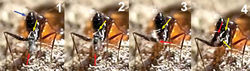 Figure 20. Arrangement of the fore legs a female Kollasmosoma sentumsp. n. for the rotation movement. 1 The wasp (the red arrow points the apex of its metasoma) approaches the ant's metasoma (blue arrow) and extends its fore legs (yellow arrow) 2 the right tarsus is placed over the left one 3 the wasp starts its counter clockwise rotation (yellow arrow points to separation between the fore legs) 4 the wasp alights downwards; at that moment the hind and middle legs (yellow arrow) grasp the ant's metasoma, and the fore legs move forwards.