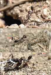 Figure 16. Workers of Cataglyphis ibericus hitting females of Kollasmosoma sentum sp. n. (red arrow) with its legs (yellow arrow). 1 at the nest entrance 2 and 3 at the baits.