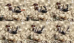 Figure 22. Oviposition of Kollasmosoma sentum sp. n. 1 After alighting and folding its wings, the wasp begins to lean backwards (the red arrow points to the space between the apex of the wasp's metasoma and the ant's metasoma) 2 before reaching the vertical, the apex of the wasp metasoma moves down, presumably inserting the ovipositor 3 at the vertical position, the apex of the wasp's metasoma is completely attached to the ant's metasoma 4 and 5 the wasp continues leaning backwards 6 the wasp flies off backwards.